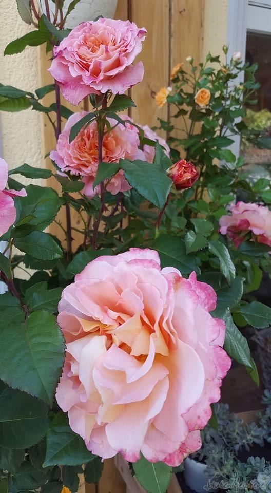 rosenzeit_06_1