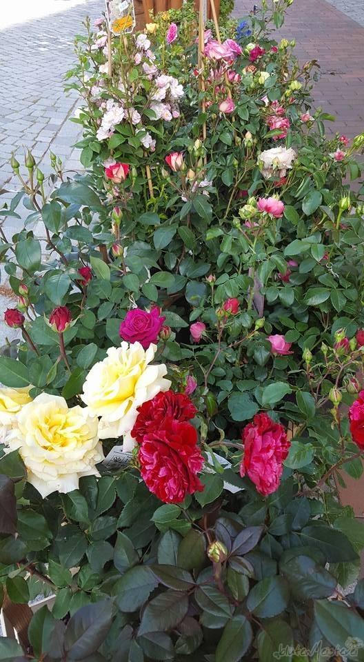 rosenzeit_06_2